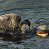 Sea Otter- Enhydra lutris Monterey Ca