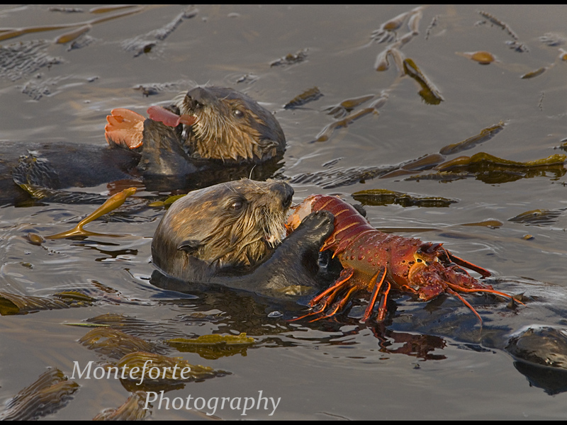 California Sea Otter - Enhydra lutris - with Pup eating Spiney Lobster, Monterey California