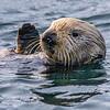 California sea otter Enhyrda lutris