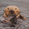 Sea Otter Enhyrda lutris