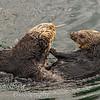 Sea Otter Enhydra lutris