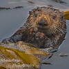 Sea Otter-Enhydra lutris-in Kelp bed, Monterey Ca.
