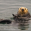 Sea Otter Enhydralutris