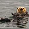 Sea Otter Enhydralutris