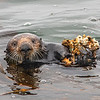 California sea otter Enhydra lutris