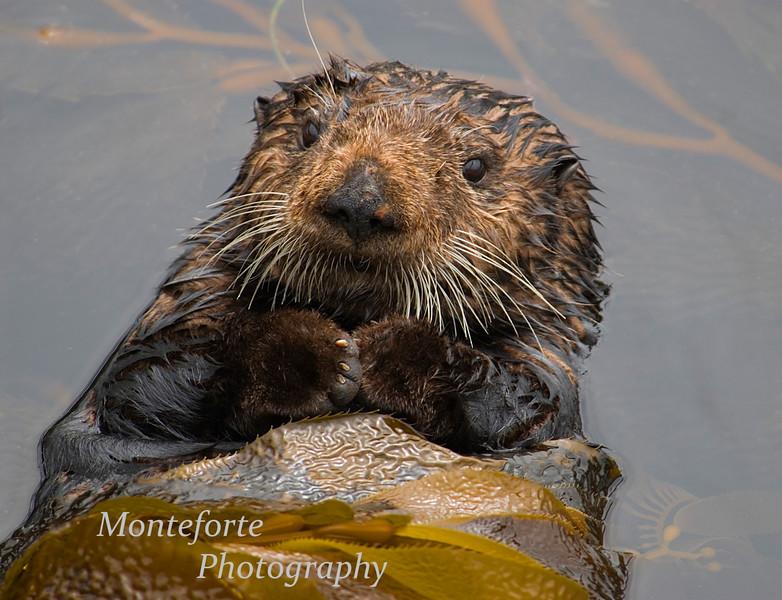 Sea Otter, Enhydra lutris, Monterey Ca