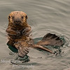 Juvenile California Sea Otter - Enhydra Lutris - at the breakwater in Monterey California.