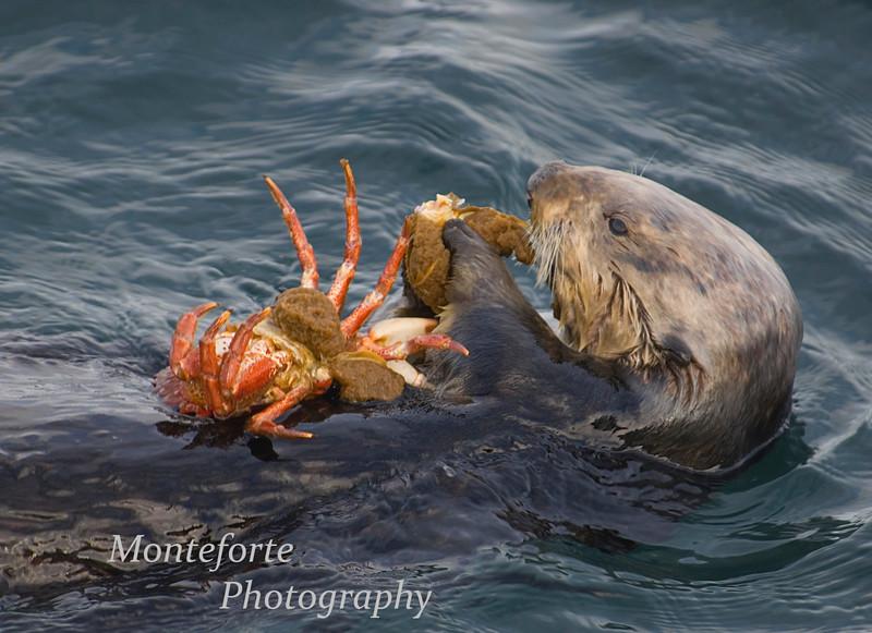 Sea Otter, Enhydra lutris eating crab