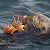 Sea Otter, Enhydra lutris eating crab