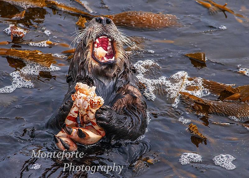 Otter Enhydra lutris
