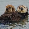 Sea Otter, Enhydra lutris with pup, Monterey Ca