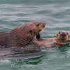 Otters mating
