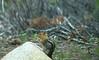 Squirrel in parking lot at rim trail, Lake Tahoe