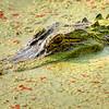 Alligator on the hunt