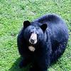 Black Bear at Grandfather Mountain