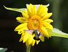 Female Ruby- throated hummingbird on sunflower