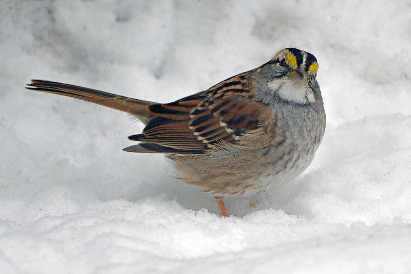 White-throated Sparrow on snow