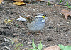 White-throated Sparrow on ground