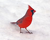 Mr. Cardinal on snow 1