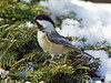 American black-capped Chickadee 3