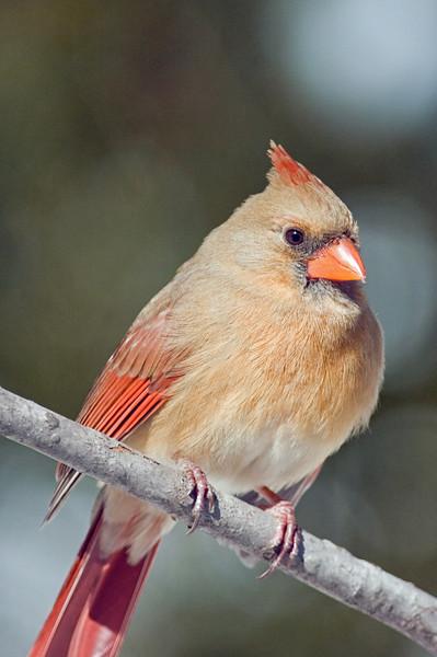 Mrs. Cardinal 1