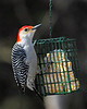 Red-belled Woodpecker on suet