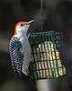 Red-belled Woodpecker on suet