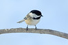 Black-capped Cickadee 1