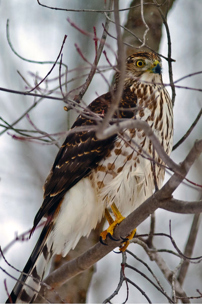 Coopers Hawk looking for a meal.