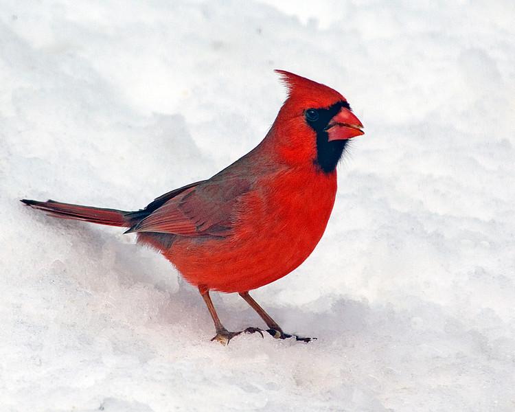 Mr. Cardinal on snow