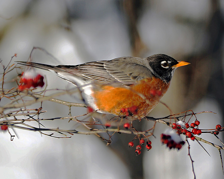 American Winter Robin 6