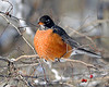 American Winter Robin