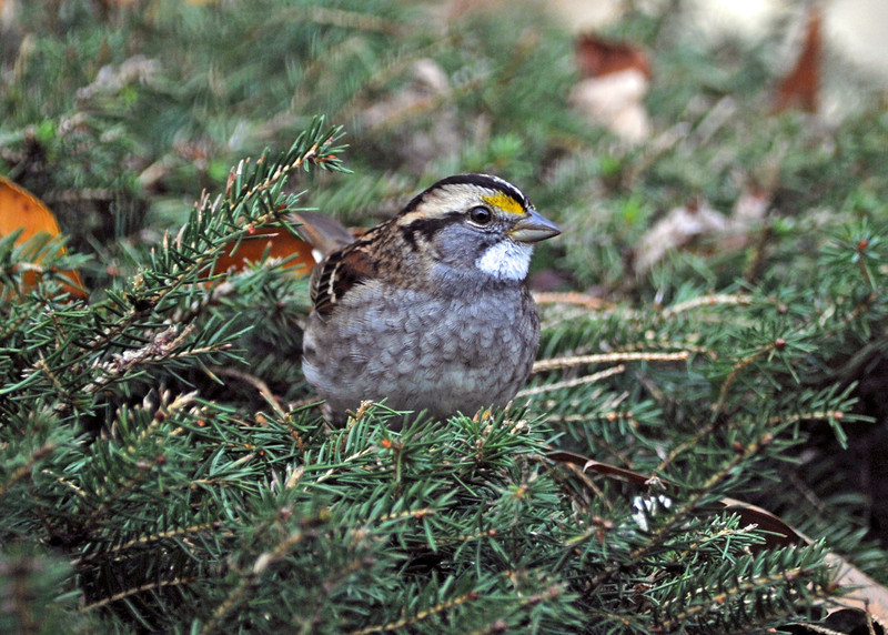 White-thoarted Sparrow