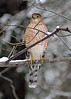 Coopers Hawk winter return
