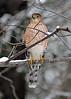 Coopers Hawk winter return