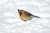 Lady Cardinal on snow
