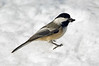 American black-capped Chickadee on snow