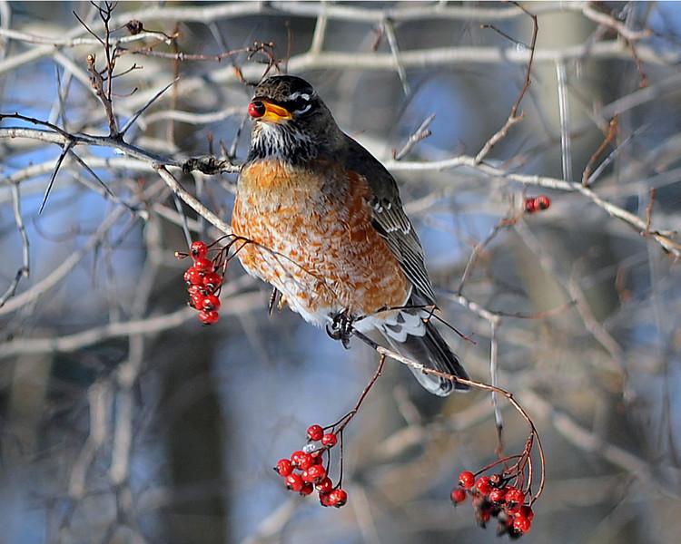 American Winter Robin 4
