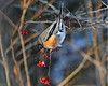 American Winter Robin 3