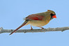 Lady Cardinal 1