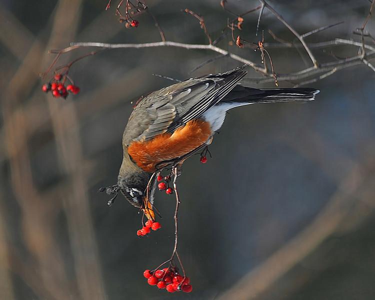 American Winter Robin 5