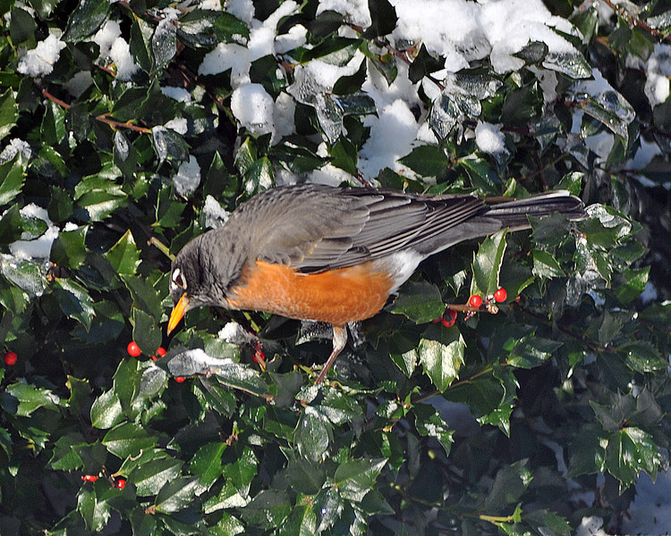 American Winter Robin 1