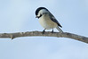 American black-capped Chickadee 4