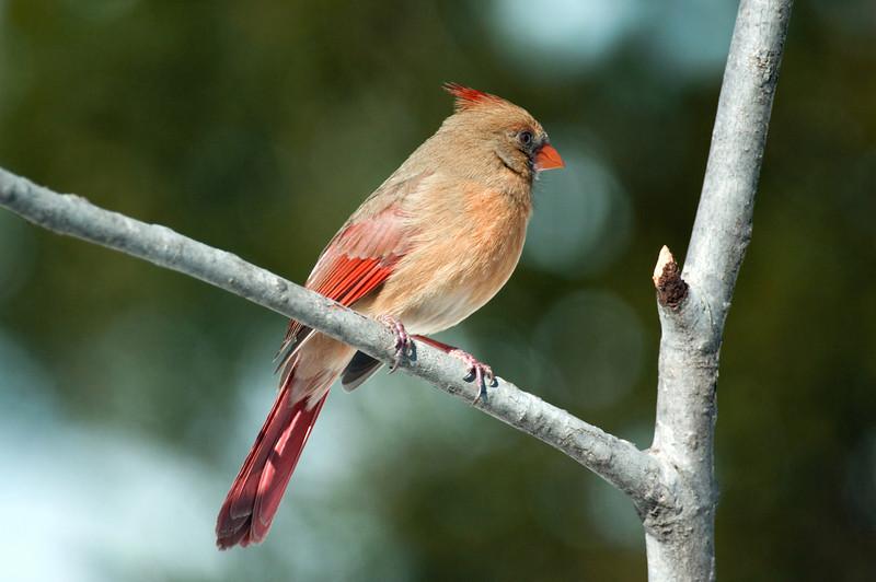 Mrs. Cardinal