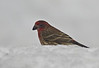 Purple house Finch on a foggy day arival