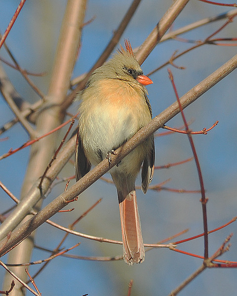 Lady Cardinal in tree