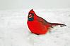 Mr. Cardinal # 2