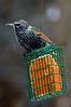 Starling on suet winter snowy day