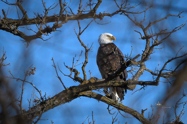Saylorvile Lake Eagle Sunbathing, Saylorville Lake (1 January 2020)