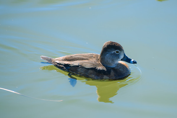 Ring-necked Duck at the Riparian Preserve, Gilbert AZ (25 February 2015)